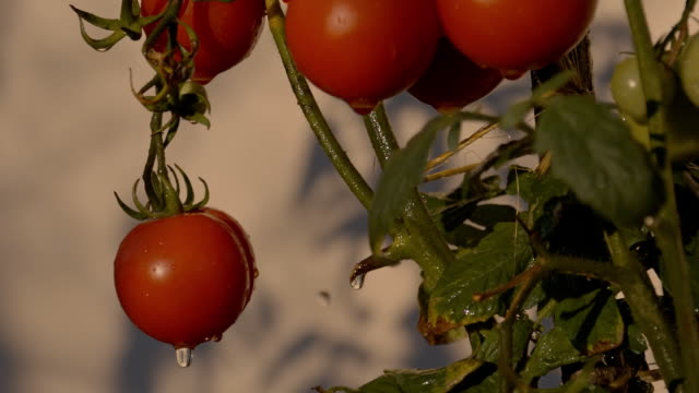 SLO MO Wet Tomatoes On The Vine video