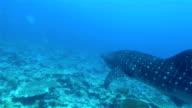 Whale shark / Rhincodon typus on Maldives video