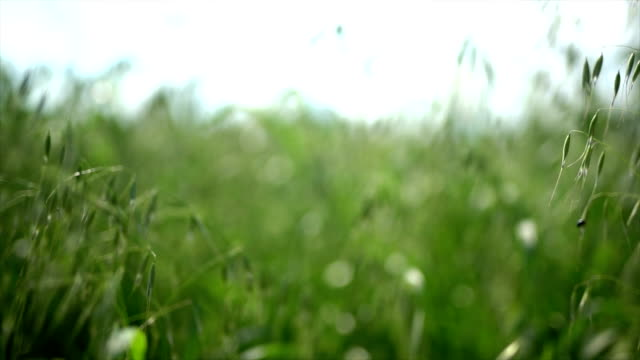 Wheat and grass video