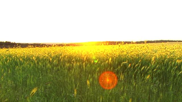 Wheat and Sunrise video