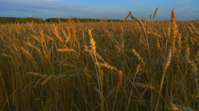 Wheat at sunset video