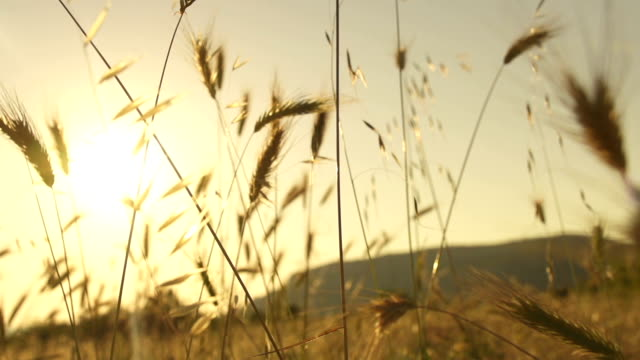 Wheat blades in the sun video