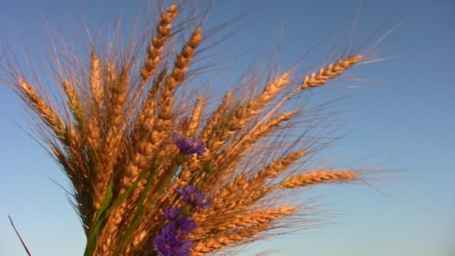 wheat bunch video