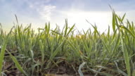 HD TIME-LAPSE: Wheat Covered With Morning Dew video