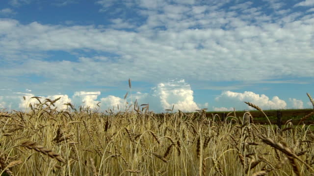 Wheat crop on the field against the blue sky. video