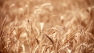 wheat crop plant swaying through wind video