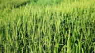 wheat crop swaying through wind video