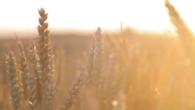 Wheat crop, with sun beams video