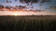 Wheat dusk landscape video