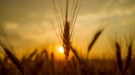 T/L Wheat ear at sunrise video