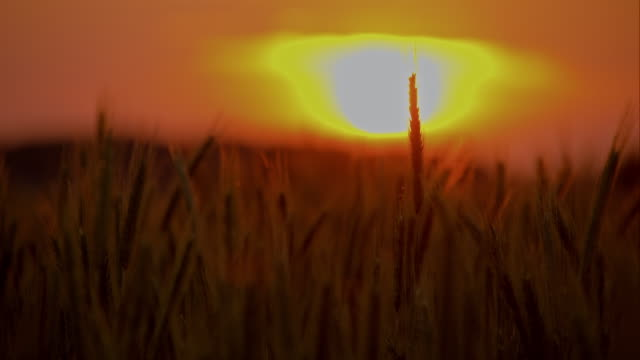 DS Wheat ear in the sunset video