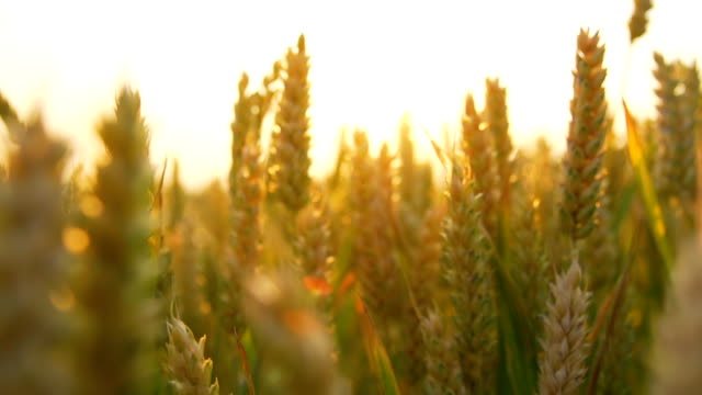HD CRANE: Wheat Ears At Sunset video