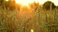 Wheat ears at sunset video