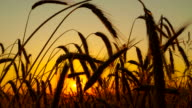 F/L Wheat Ears In The Sunrise video