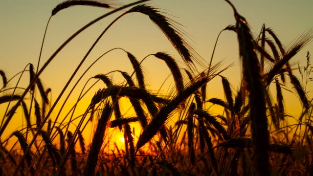 F/L Wheat Ears In The Sunrise video