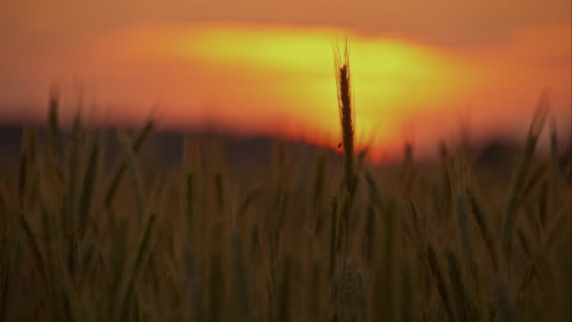 CU Wheat ears in the wind video