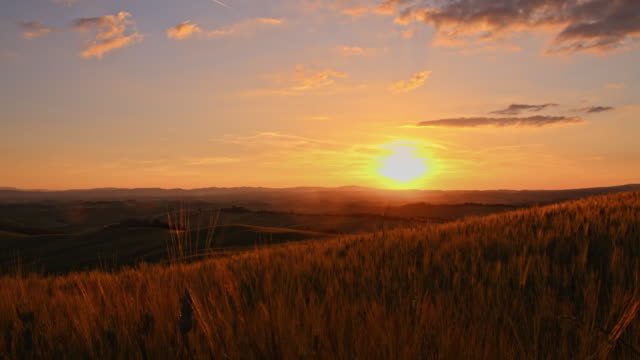 DS Wheat ears swaying in wind at sunset video