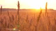 Wheat ears video