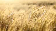 Wheat ears with dollar bills video