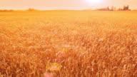 Wheat feild blowing in wind video