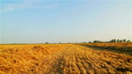 Wheat field after harvest video