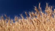 Wheat Field against a blue sky video