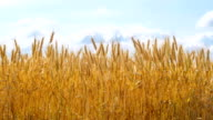 Wheat field against a cloudy sky video