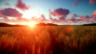 Wheat field against beautiful timelapse sunset, camera fly video