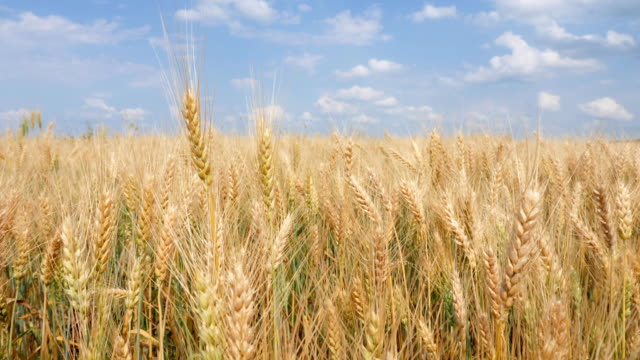 Wheat Field and Spikelets, blue sky, white clouds video