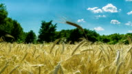 Wheat Field and Spikelets. Time Lapse video