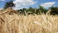 Wheat Field and Spikelets video