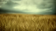 Wheat field and storm video