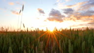 Wheat field and sunset video