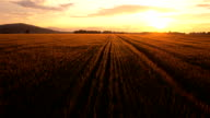 AERIAL: Wheat field at golden sunset video