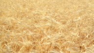 Wheat field at summer the wind blew - Slow Motion video