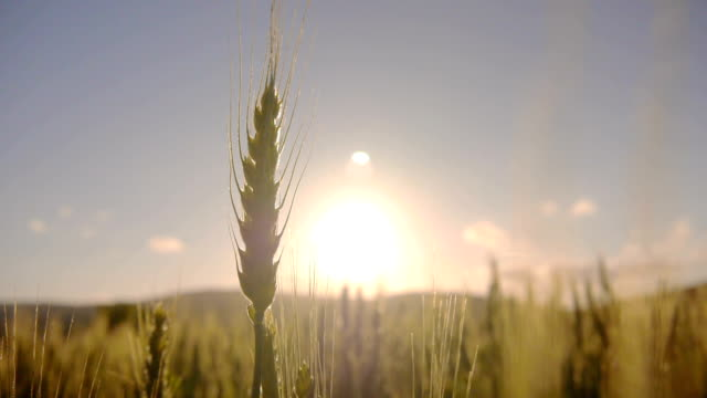 Wheat field at sunrise video