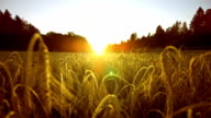 Wheat Field At Sunset (Super Slow Motion) video
