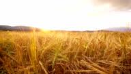 Wheat field at sunset video