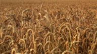 Wheat field before harvest video