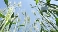 Wheat field blowing in the wind. video