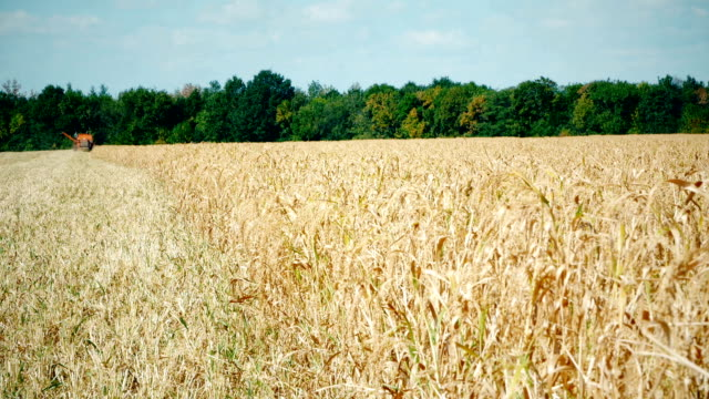 Wheat field: cloudy sky over golden field. rain before video