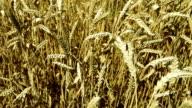 Wheat field, dolly shot video