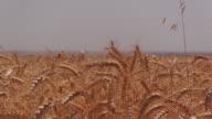 A wheat field, fresh crop of wheat. video