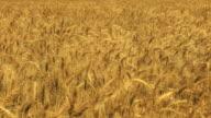 Wheat Field HD 1080 video