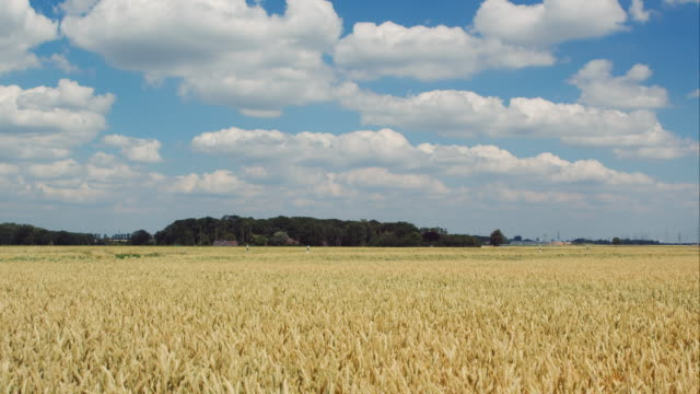 Wheat field in industrial surrounding video