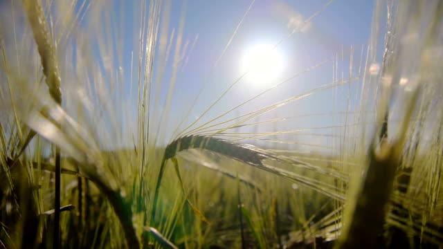 Wheat field in light breeze video