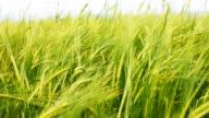 HD: Wheat field in spring video