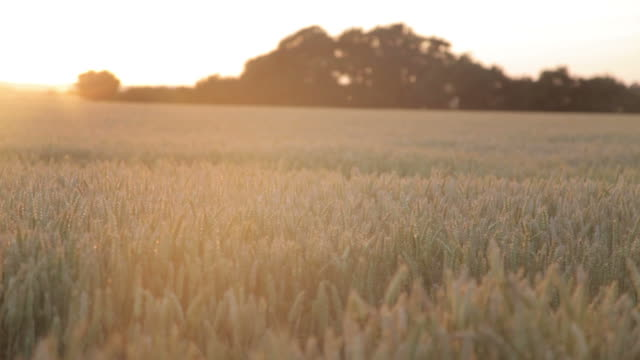 Wheat field in sunset video