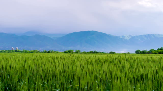 Wheat Field in the Foothills video
