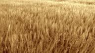 HD CRANE: Wheat Field In The Wind video